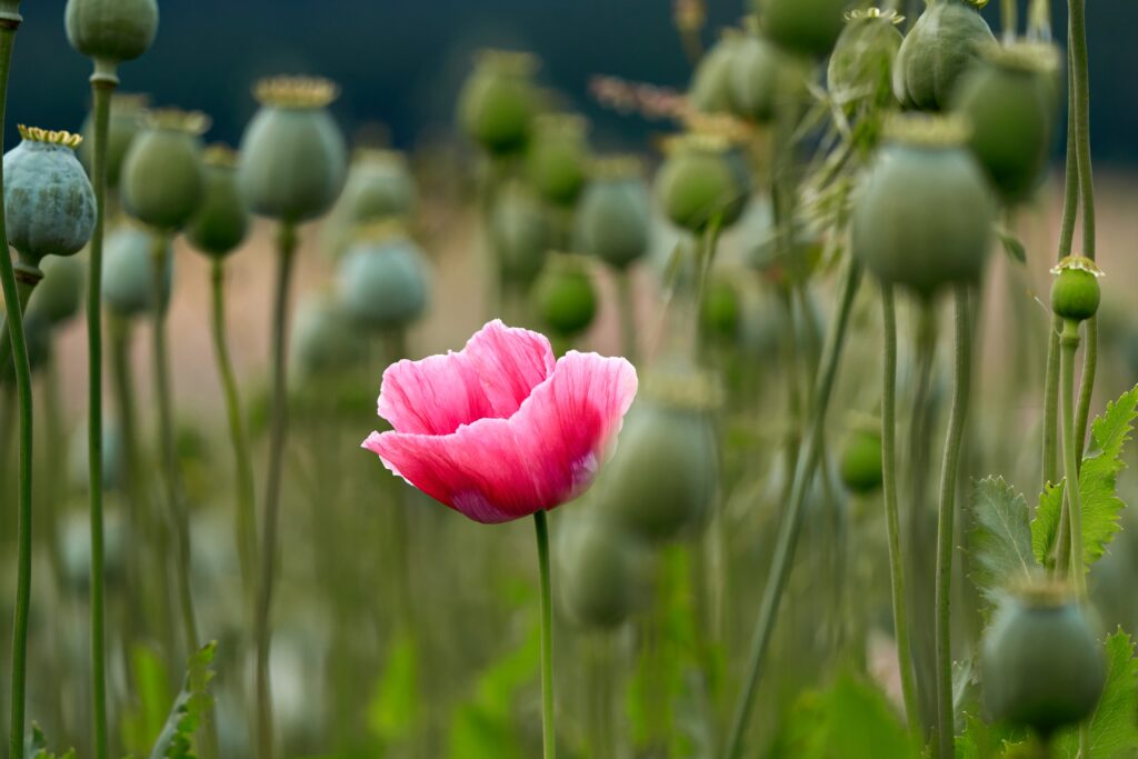 A single bright-pink poppy blooms in an opium field.